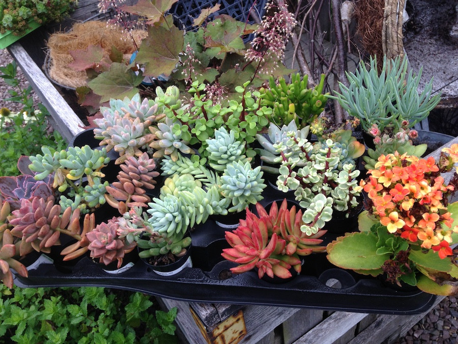 Succulents ready to be planted