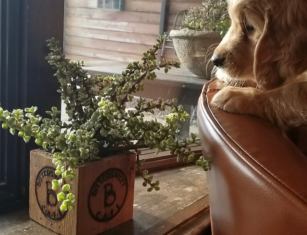 Puppy and succulent