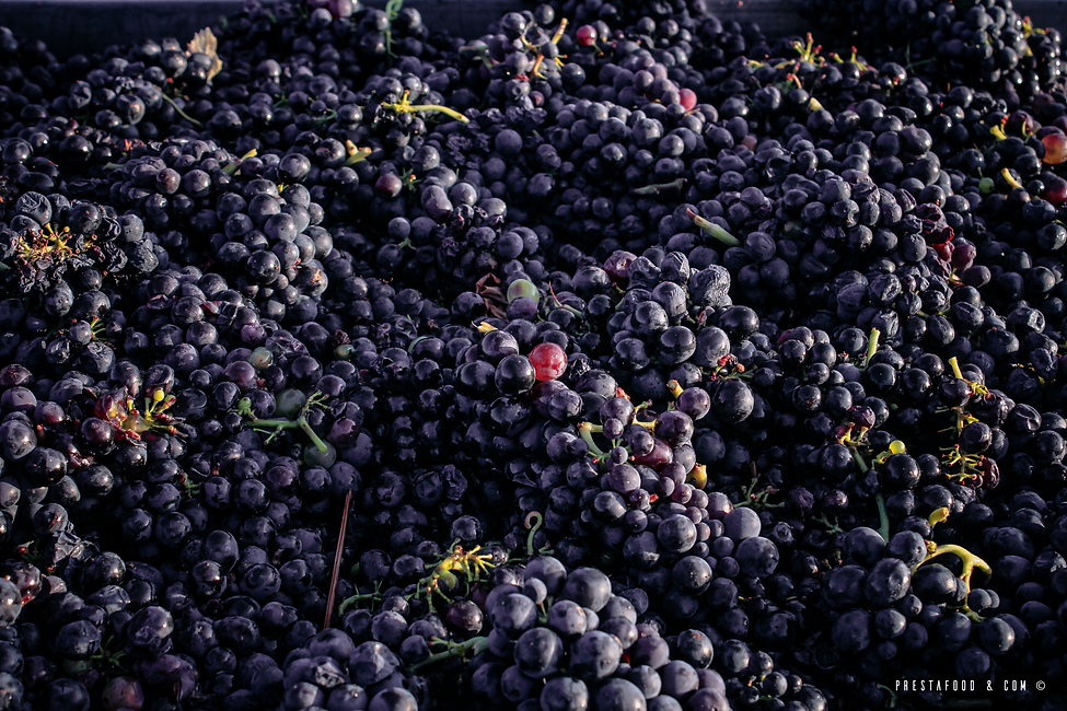Grappes de Gamay Beaujolais Brouilly
