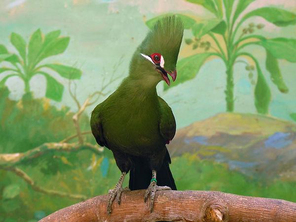 The Guinea turaco (Tauraco persa), also