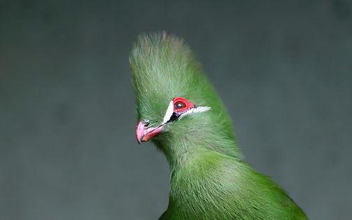 Guinea turaco (Tauraco persa), also know