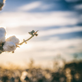 cotton-2807362_1920.jpg