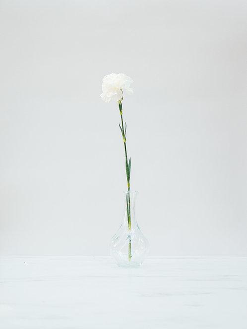 Goździk (Dianthus)
