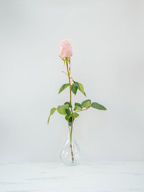 Róża Kolumbijska