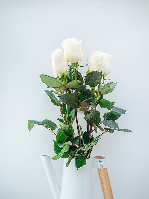 Róża Holandia