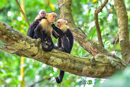 White-faced Capuchins