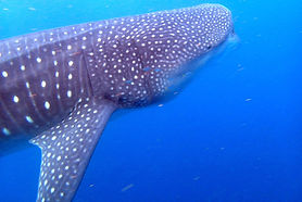 Whale Sharks & Ocean Plastics Workshop