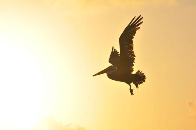 pelican by Jaen Nieto Amat.jpg