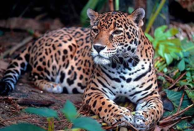 jaguar-1377982_1280.jpg