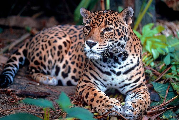 Jaguars, ocelots, and margays