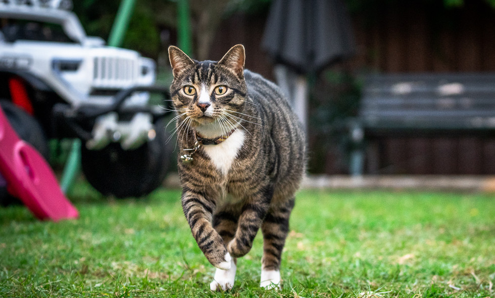Cat-running-for-food