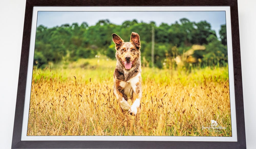 Framed Print Artwork from Sydney Pet Photographer