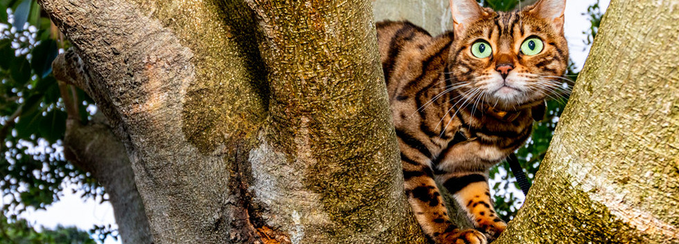 Bengal-cat-in-tree.jpg