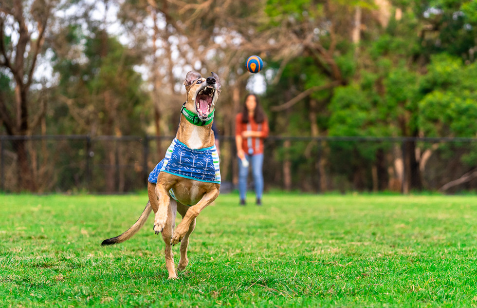Greyhound-dog-jumping-for-ball.jpg