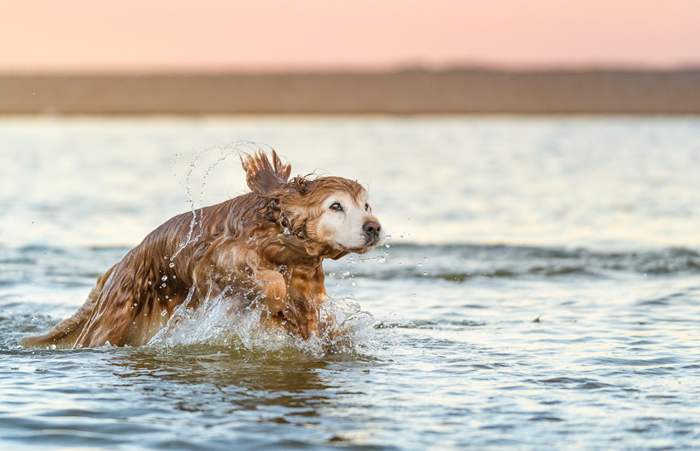 Action-shot-of-dog-out-of-water