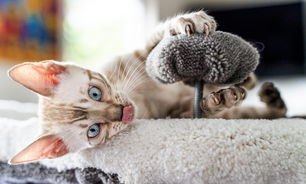Kitten-with-tongue-out
