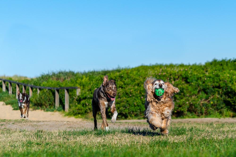 Three-dogs-running-having-fun