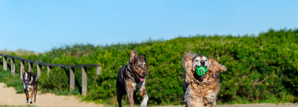 Three-dogs-running-having-fun