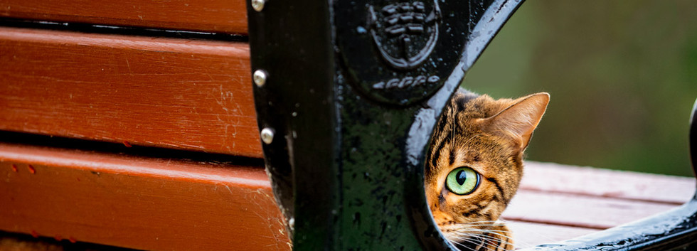 Bengal-cat-crouching-on-bench-Sydney.jpg
