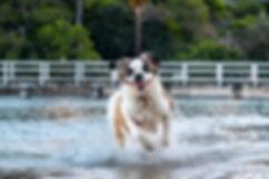 Saint Bernard in Mosman Clifton Gardens Reserve enjoying playing in the water