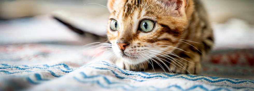 Kitten-getting-ready-to-pounce