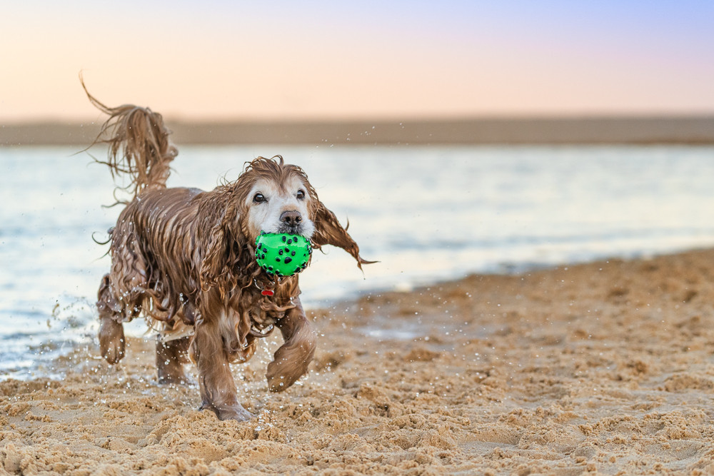 Cocker-spaniel-dog-with-ball-at-beach