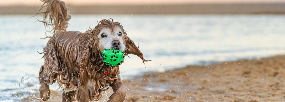 Cocker-spaniel-dog-with-ball-at-beach