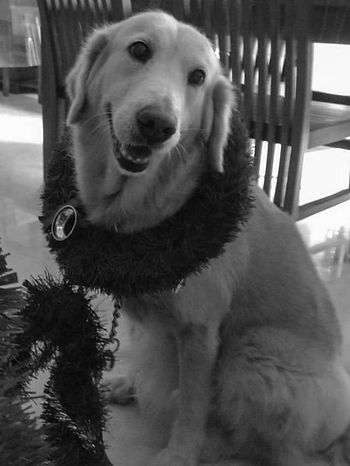 Portrait of a Golden Retriever smiling with Christmas tree captured by Sydney dog photogra