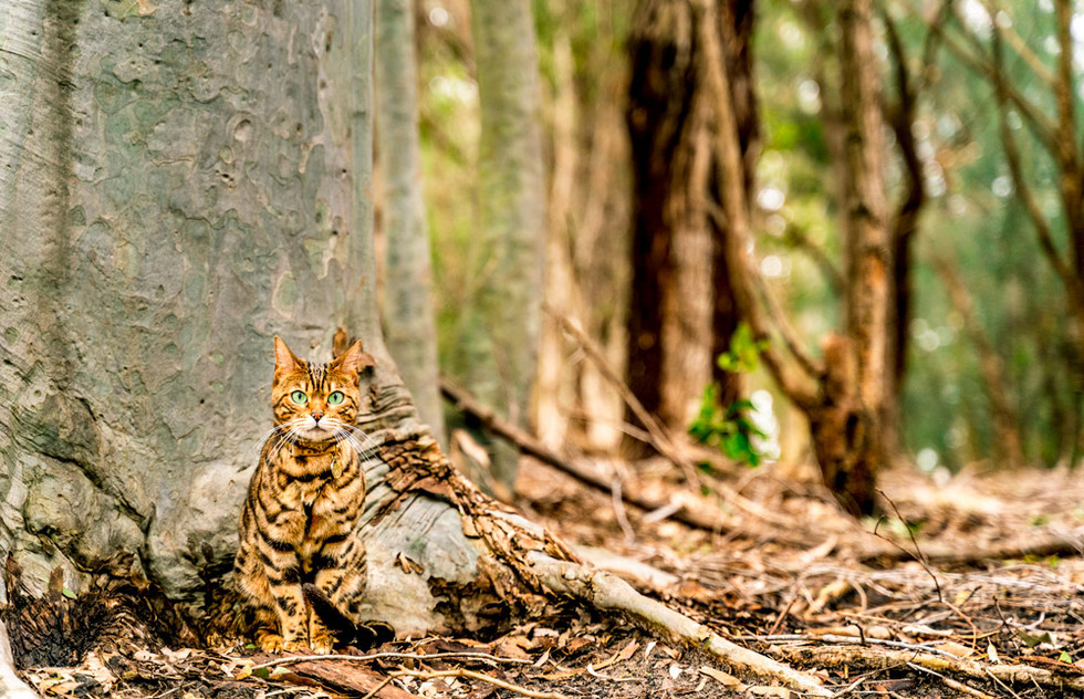 Bengal-cat-in-the-trees-at-Sydney-Park