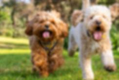 Two poodle crosses running in Sydney Par