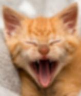 Portrait of ginger kitten yawning by Sydney Cat Photographer
