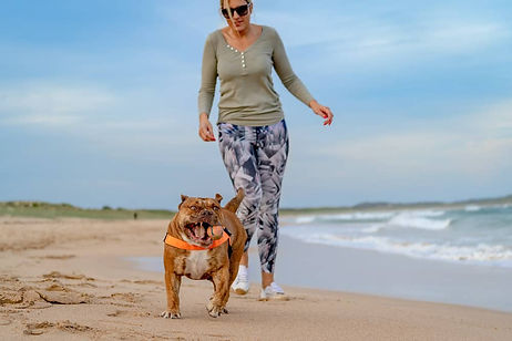 Dog Photo of Australian bulldog playing fetch with owner on Northern beaches Sydney
