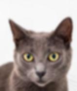 Beautiful Grey tabby adoption cat by Sydney Cat Photographe