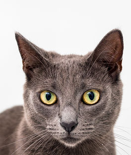 Beautiful Grey tabby adoption cat by Sydney Cat Photographe