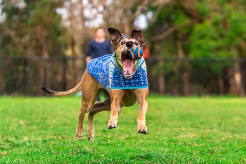 Greyhound-dog-jumping-to-catch-ball