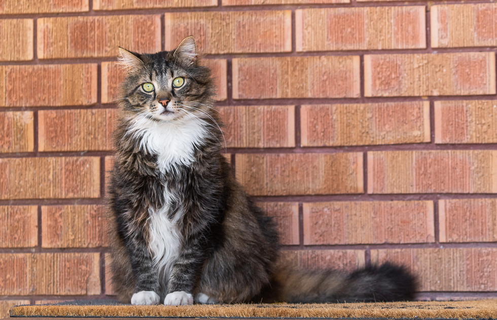 Long-haired-cat-in-front-of-brick-wall