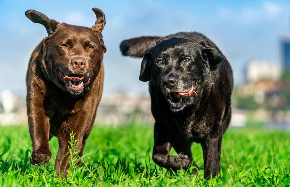 Two-senior-dogs-running