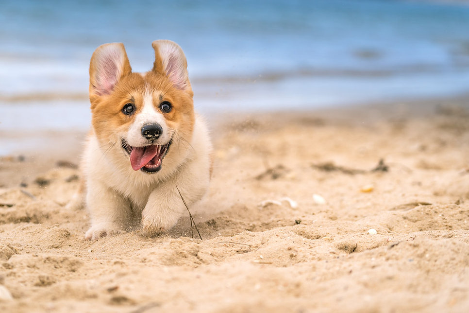 Photo of Corgi puppy playing in the sand for the first time in Northern Beaches Sydney