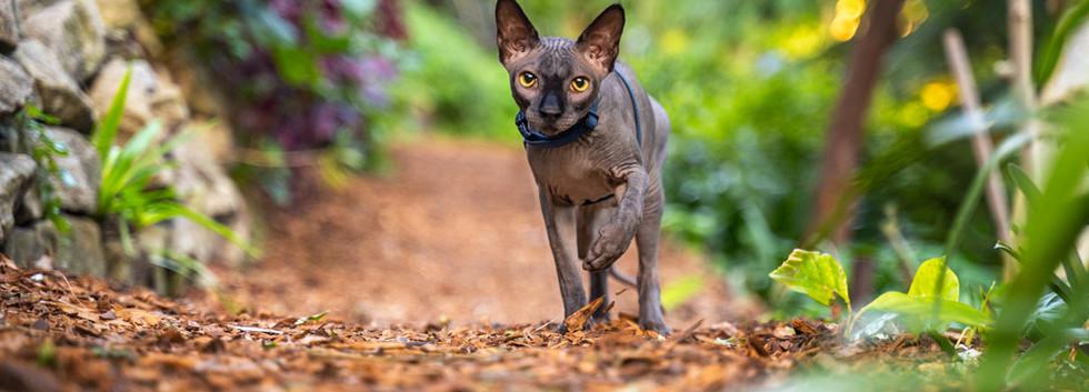 Sphynx-Cat-running-Sydney-Gardens.jpg