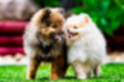 Two pomeranian puppies having fun together at Sydney Park