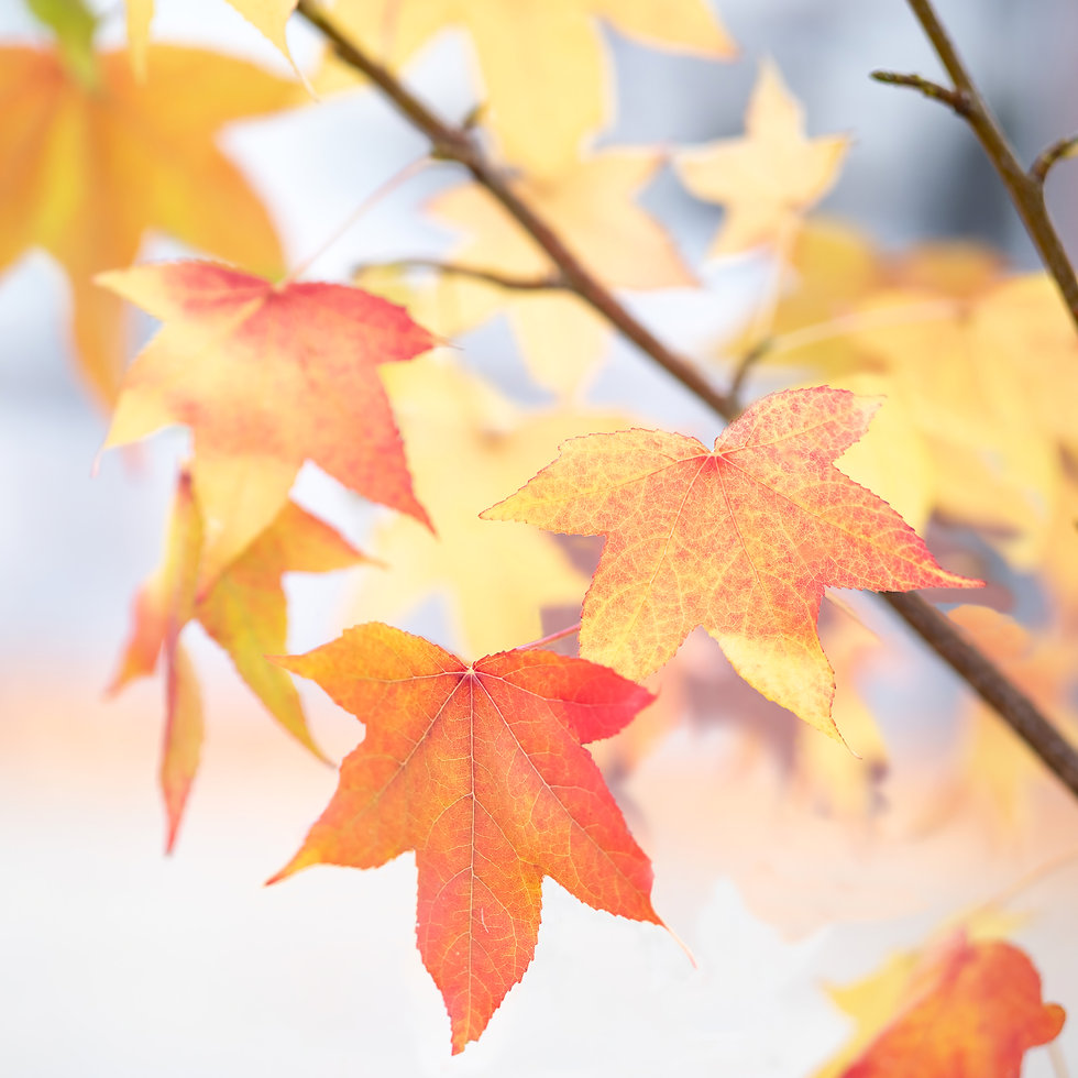 Canva - Red aAnd Yellow Maple Leaves Clo