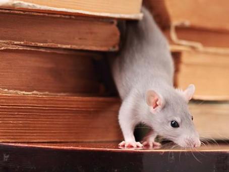 مشاكل الفئران في المنازل و أنواعها