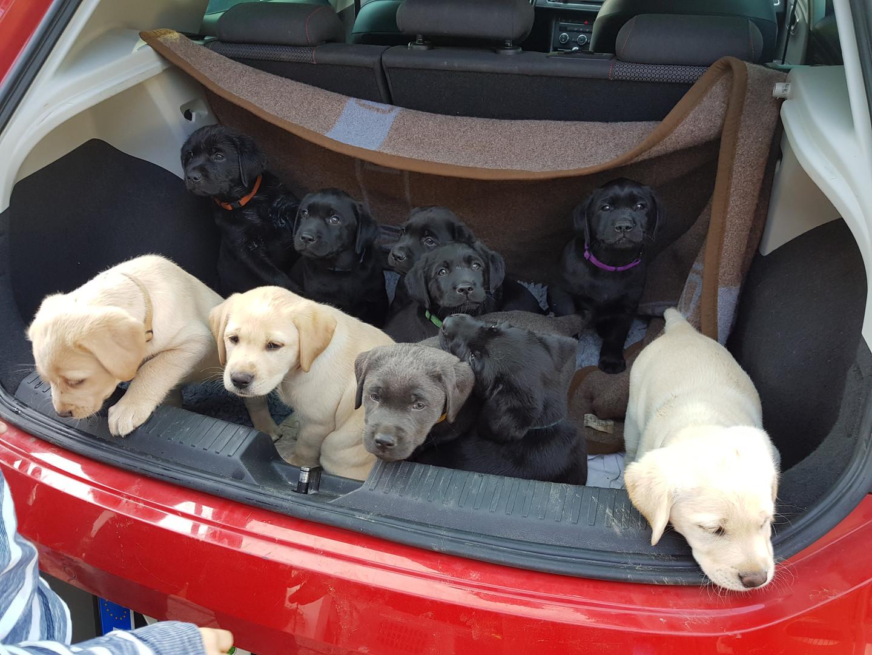 Labrador Welpen Auto