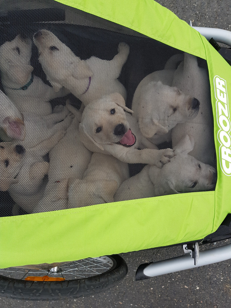Labrador unterwegs