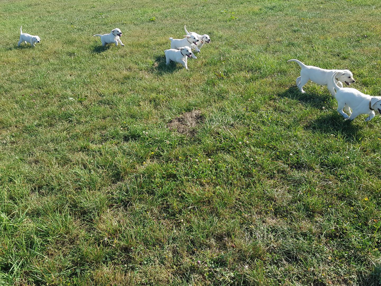 Weiße Labradore