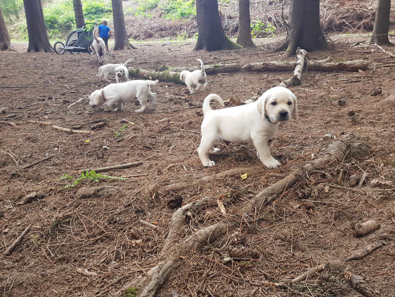 Labradore im Wald