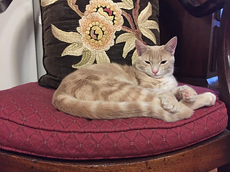 Maisie, a buff and cream 2.5-year-old cat, sitting on a large burgundy cushion.