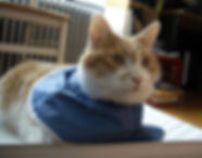 Max, 2006. Max is a large orange and white tabby and is wearing a blue vinyl soft-collar after he had surgery.