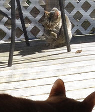A gray tabby cat licking its paw and the back of a black cat, on a deck as seen through a screen.
