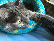 A gray cat with green eyes lying on a blue floral bed.